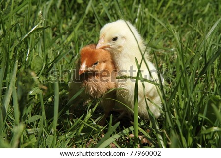 Baby chickens on grass