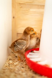 Baby chicks maturing in a small pen. As they age, they'll become productive egg layers.