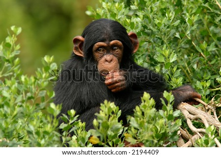 Baby Chimp in trees - stock photo