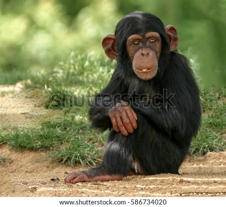 Baby Chimpanzee #586734020
