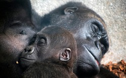 Baby chimpanzee sleeping at his mother' chest, together with family. Mother love family concept. The Pan troglodytes,  Mother's day.