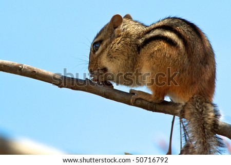 Baby Chipmunk sitting on a branch eating berries. Blue sky background