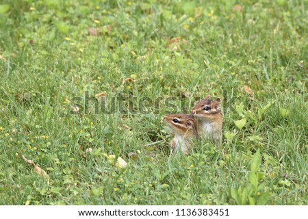 Baby chipmunks chipmunk peeking their heads out of their home for the first time in spring field.