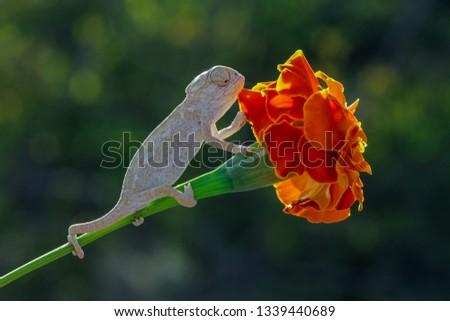 baby common chameleon 2 .. #1339440689