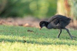 Baby Common moorhen wading bird Gallinula chloropus has large feet in a marsh in Naples, Florida