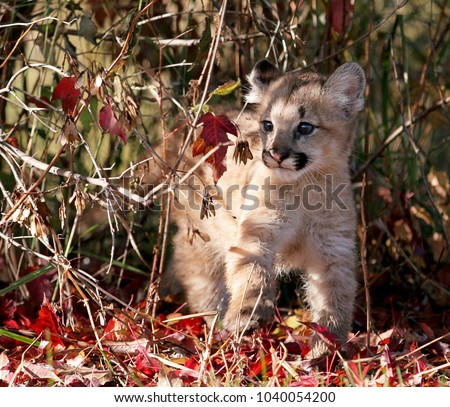Baby cougar, mountain lion, puma or panther, with autumn colors
