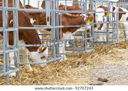 Baby cow calves in a cage ストックフォト ©