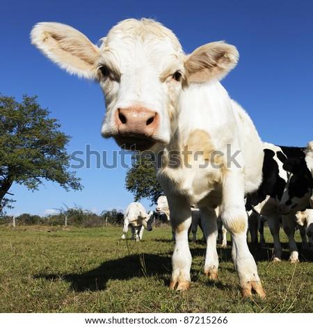 baby cow on farmland in summer