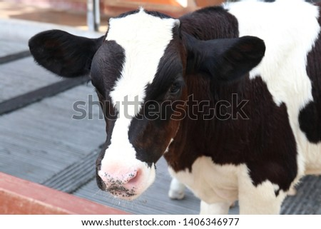 Baby cows in a farm. Milk cow. Dairy cow. - Image #1406346977