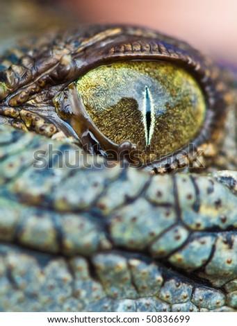 Baby Crocodile Eye, Hartley's Crocodile Farm, Queensland, Australia