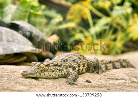 Baby crocodile living with turtles (soft focus on eyes). Shot near Oudtshoorn, South Africa.