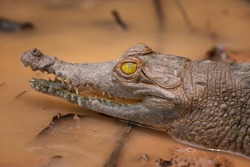 baby crocodile, yellow crocodile eye in a river. portrait of a crocodile.