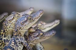 Baby crocodiles in the farm have just hatched from the egg. They were improve species for economic trading, especially the export of blood and tanning leather. Hybrid crocodile cub.