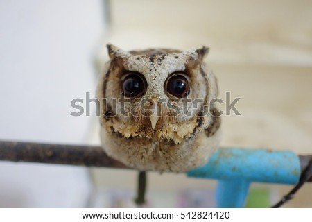 Baby Cute Owl and His Big eyes