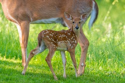 Baby deer or fawn standing between doe legs in field near forest