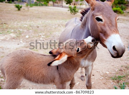Baby donkey mule with mother in mediterranean Spain