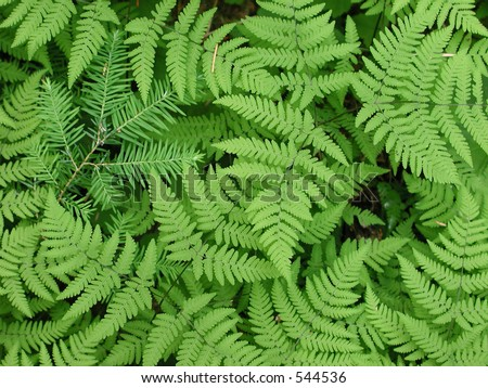 Baby Douglas fir grows through forest floor covered with ferns. #544536