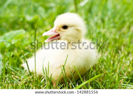 baby duck in green grass calling his mother