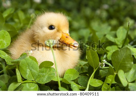 Baby duckling in a field of clover
