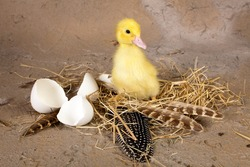 Baby duckling sitting on its nest with broken eggshells