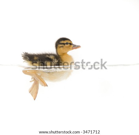 baby duckling swimming in water