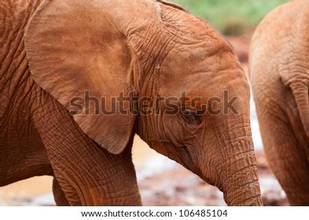 Baby elephant at the David Sheldrick Elephant Orphanage in Nairobi, Kenya