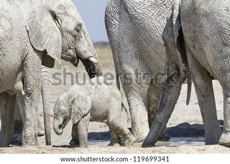 Baby elephant between his herd