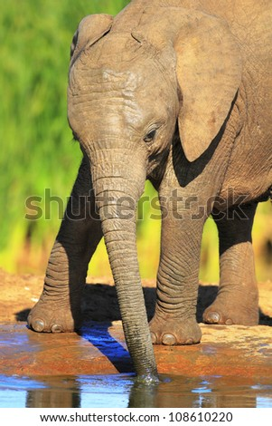 Baby elephant drinking water - Addo National Park