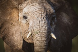 Baby Elephant Face With Trunk In Ol Jogi In Kenya