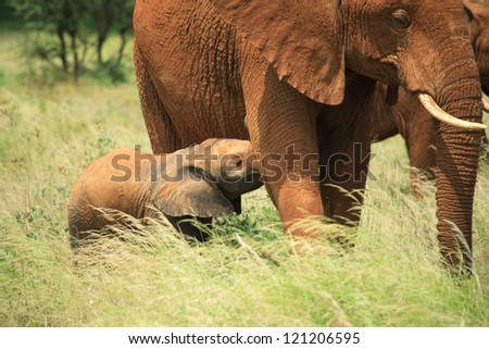Baby elephant feeding from its mother, Kenya Africa