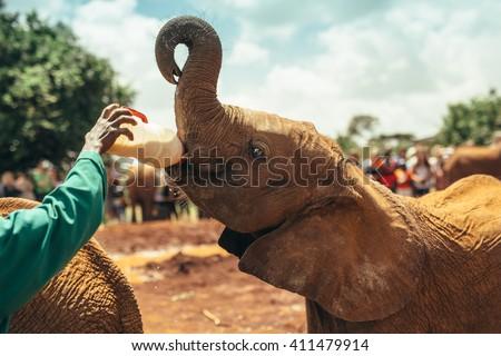 Baby elephant feeding with milk  in the  National park Nairobi, Kenya  #411479914