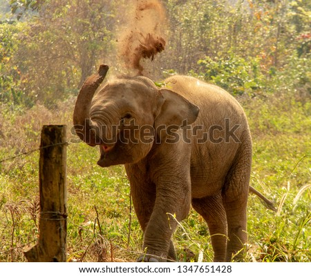 Baby Elephant flinging dirt in the air in Thailand Stock photo ©