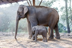 Baby elephant guarded by its mother at the Chitwan National Park, Nepal