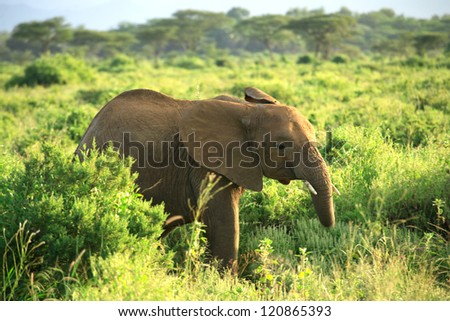 Baby elephant in Samburu National Park, Kenya, Africa