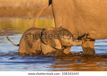 Baby Elephant in water