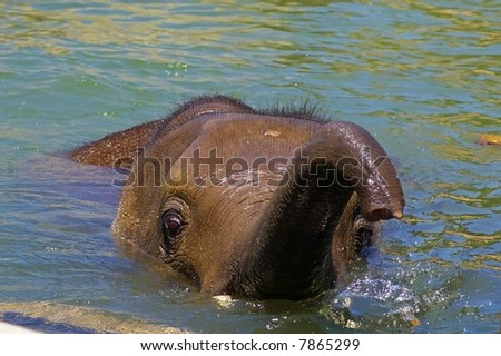 Baby elephant in water with trunk raised
