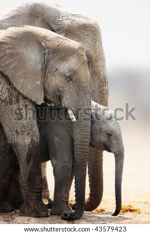 Baby elephant stand protected between cow and bull; Loxodonta Africana; Etosha