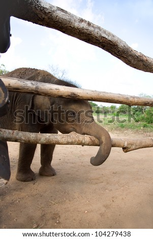 Baby Elephant stands near wood fence, sri lanka