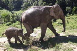 Baby elephant walking next to mom in elephant sanctuary near Chiang Mai, Thailand
