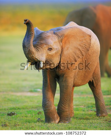 Baby Elephant with raised trunk