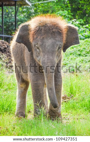 Baby  elephant  working in in the meadow at Kanchanaburi Elephant Camp, Thailand.