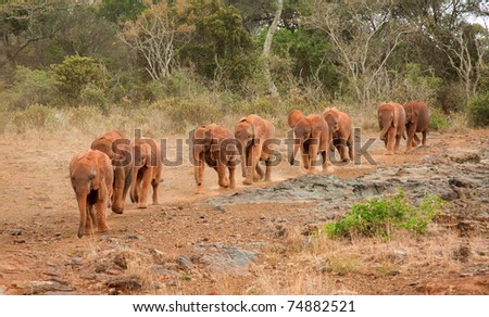 Baby elephants at the David Sheldrick Elephant Orphanage arriving for their mid-morning milk