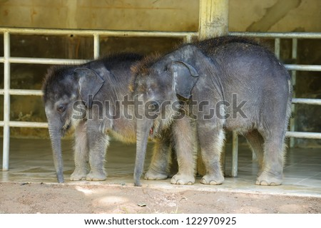 Baby elephants . 8 months from birth. Country Of Sri Lanka