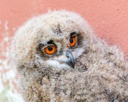 Baby Eurasian Eagle Owl