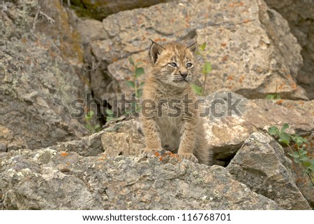 Baby Eurasian lynx on rocky ledge. Distinctive ear tufts starting to form.