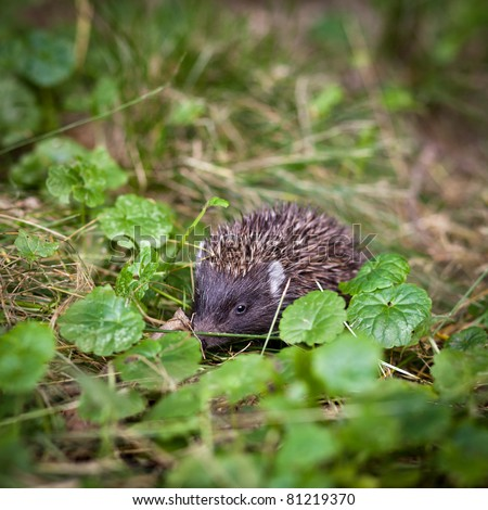 Baby European Hedgehog (Erinaceus europaeus) sniffing in grass, exploring the natural world - stock photo