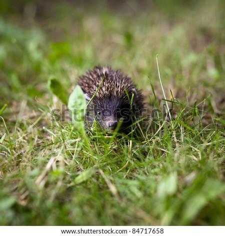 Baby European Hedgehog (Erinaceus europaeus) sniffing in grass, exploring the natural world