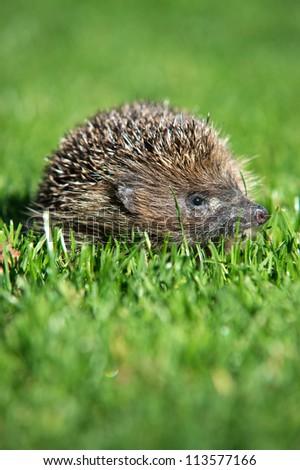 Baby European Hedgehog on Vibrant Green Grass /Hedgehog