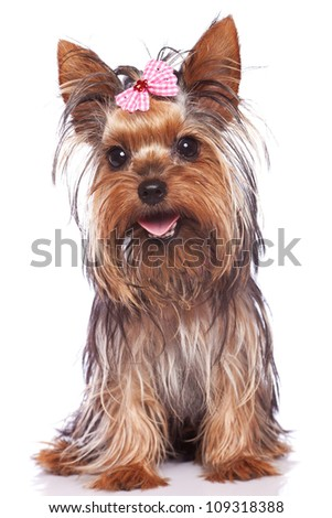 baby face yorkshire terrier puppy dog sitting and panting while looking at the camera