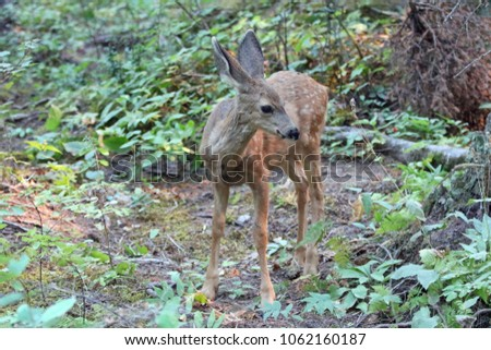 Baby fawn mule deer in the Rocky Mountains in the western United States